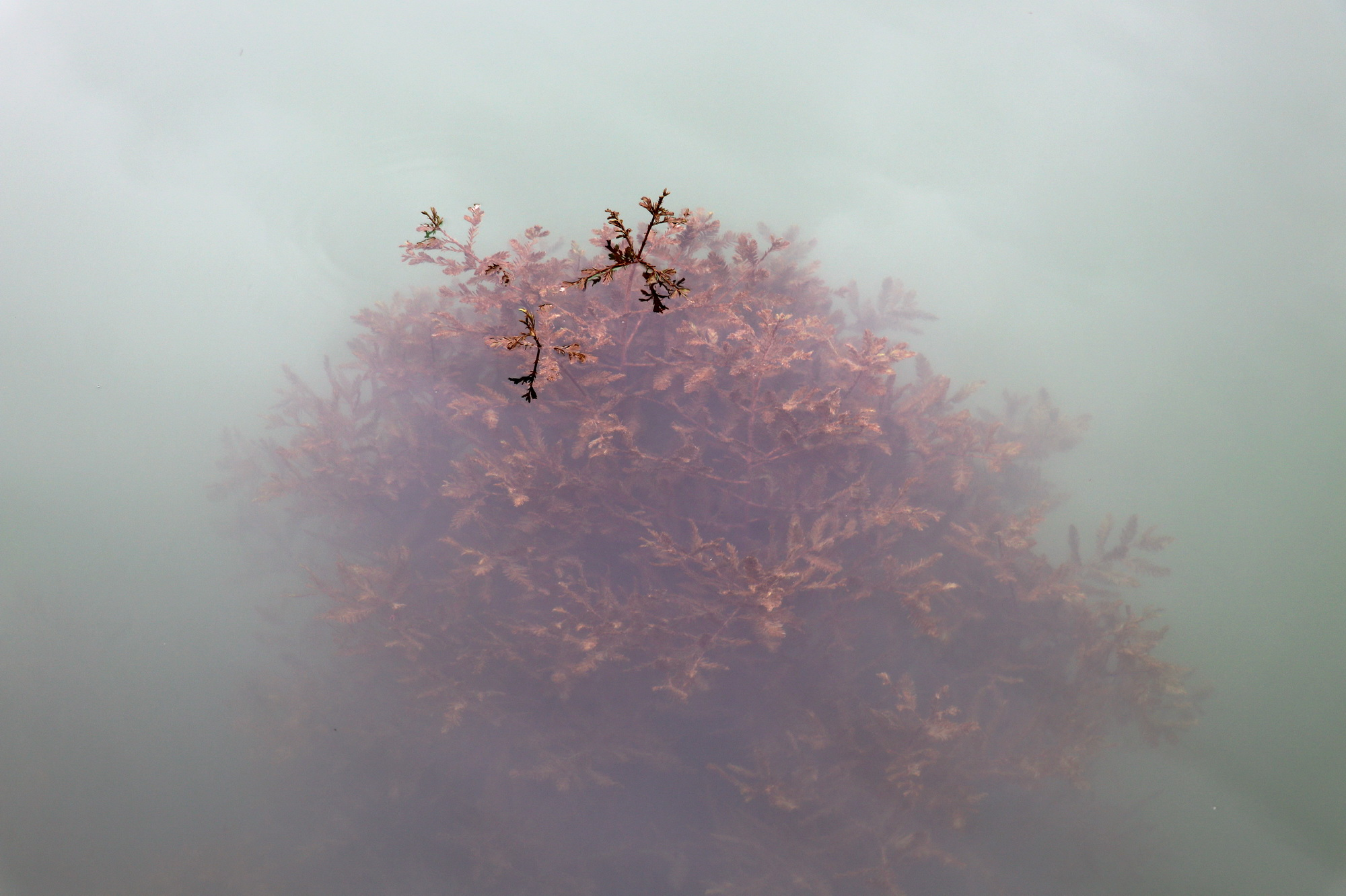 Taxodium under water_3877-resizedJPG